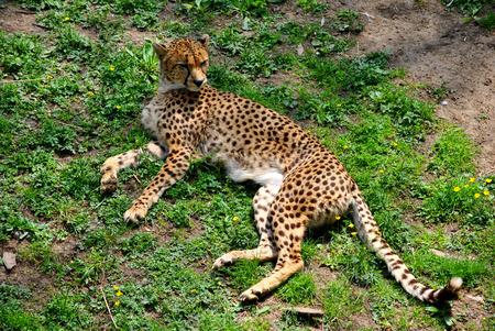 jubatus: Cheetah Latin name Acinonyx jubatus