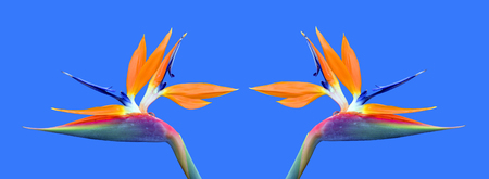 bird of paradise: Bird of paradise Latin name Strelitzia reginae flowers