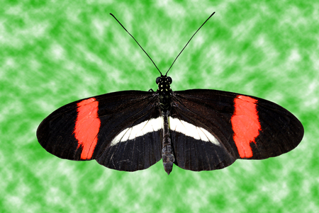 insecta: Crimson-patched Longwing Butterfly