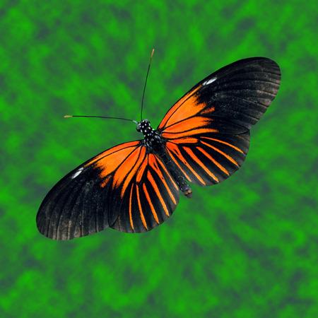 longwing: Doris Longwing Butterfly Latin name Heliconius Doris