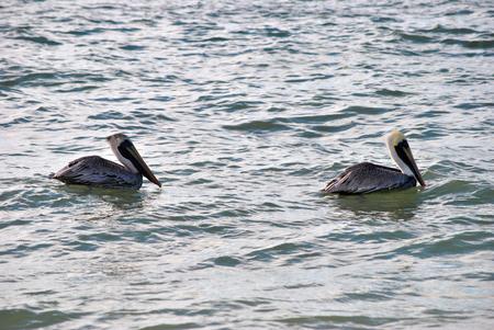 pelecanus: A pair of endangered Brown Pelicans Latin name Pelecanus occidentalis
