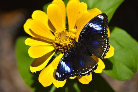 entomological: Blue Diadem Butterfly Latin name Hypolimnas salmacis on a yellow flower Stock Photo