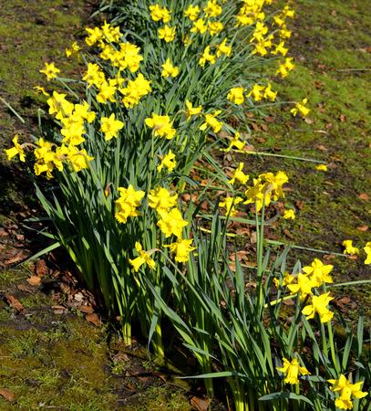 perianth: Daffodils Latin name Narcissus February Gold