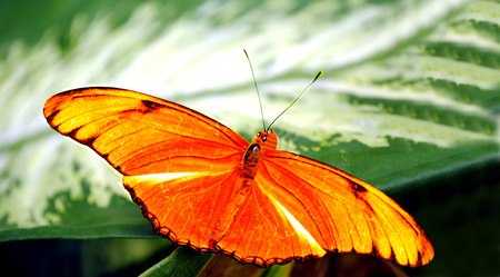 morphology: Flambeau butterfly Latin name Dryas iulia