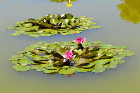 nymphaea: Water lily Latin name Nymphaea Weymouth Red