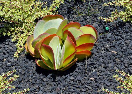 money plant: Money plant Latin name Crassula argentea