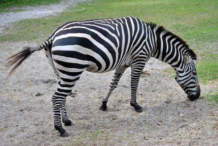 equid: Grants zebra Latin name Equus burchelli boehmi
