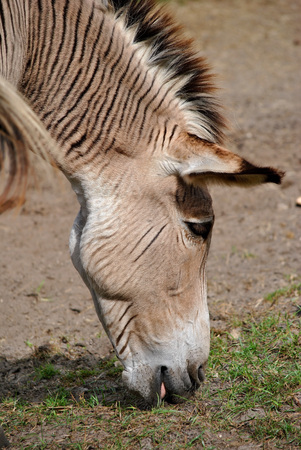 Zebroid a cross between a zebra and a donkey Stock Photo
