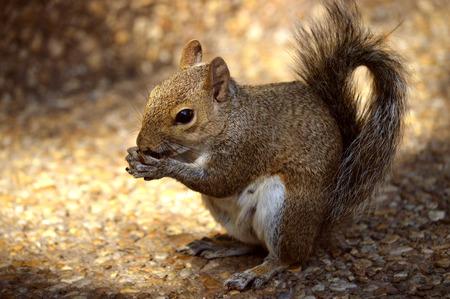 Grey squirrel Latin name Sciurus carolinensis