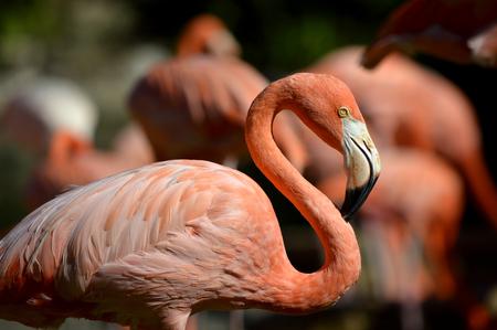 Caribbean flamingo Latin name Phoenicopterus ruber Stock Photo