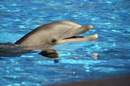 bottlenose: Bottlenose dolphin head Latin name Tursiops truncatus Stock Photo