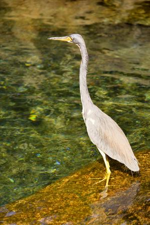 herodias: Great blue heron Latin name ardea herodias