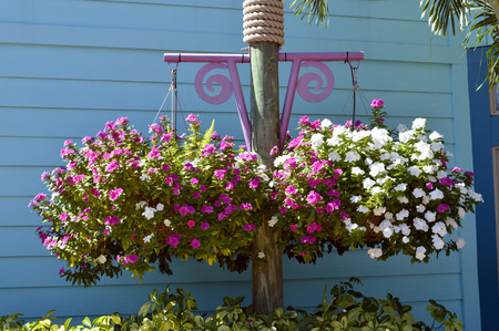 lizzie: Busy lizzie Botanical name Impatiens flowers in hanging baskets