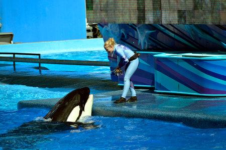 cetaceans: Seaworld, Orlando, Florida, USA - October 26, 2016 : A trainer feeding a Killer Whale