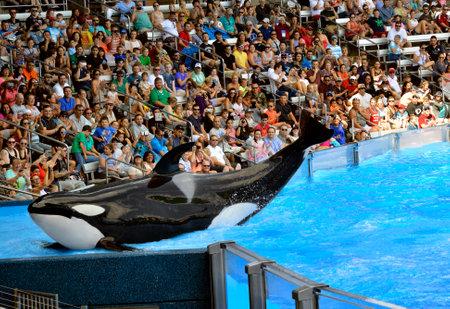 cetaceans: Seaworld, Orlando, Florida, USA - October 26, 2016 : A Killer Whale posing for the tourists cameras