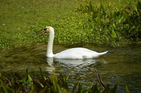 cygnus olor: Mute Swan Latin name Cygnus olor