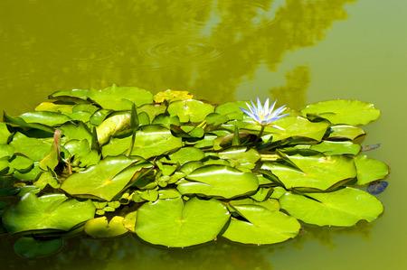 Waterlily Latin name Nymphaea caerulea Blue Lotus of the Nile