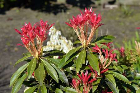formosa: Pieris Forest Flame red leaves in spring