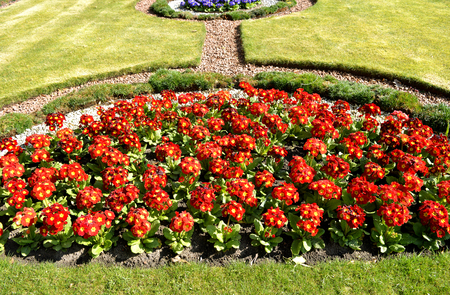 polyanthus: Polyanthus Pacific Giants in a flowerbed
