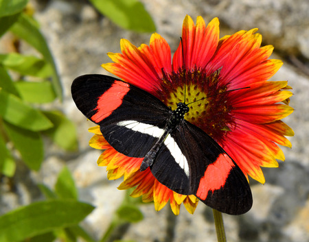 dicot: Crimson-patched Longwing Butterfly on a Blanket flower gillardia pulchella