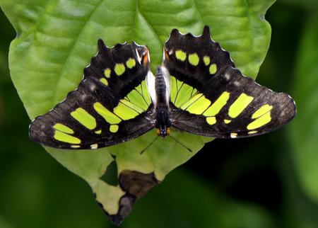 Malachite butterfly Latin name Siproeta stelenes