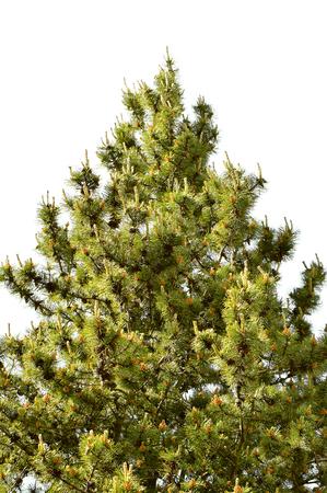 pinus sylvestris: Scotch pine Latin name Pinus sylvestris