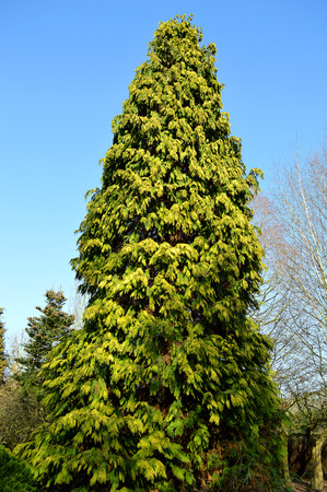 thuja occidentalis: Northern white-cedar Latin name Thuja occidentalis Stock Photo