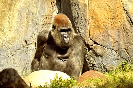 Lowland gorilla Latin name Gorilla gorilla sitting near a mountain