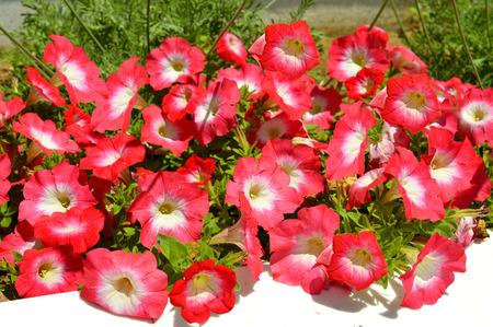 Red and white Petunia grandiflora flowers in a garden box