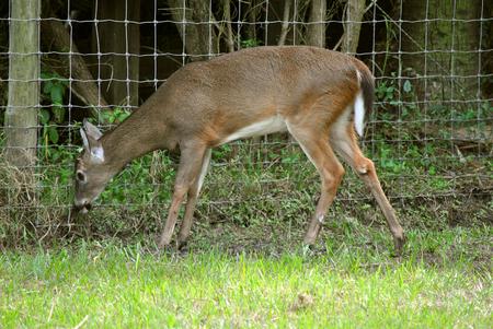 White-tailed deer Latin name Odocoileus virginianus Stock Photo
