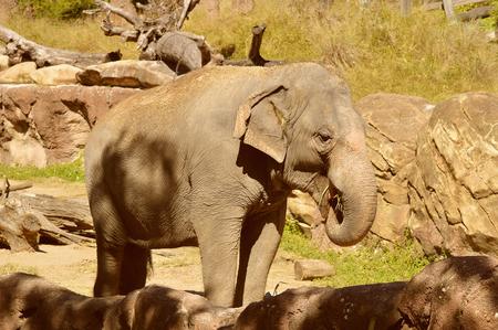Indian elephant Latin name Elephas maximus indicus Stock Photo