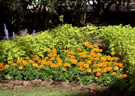 African marigold  Latin name Tagetes erecta