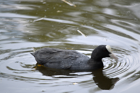 Coot Latin name Fulica atra in the water