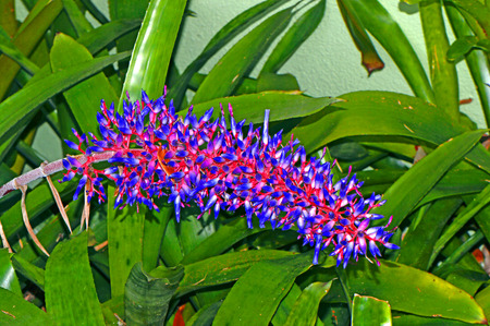 Aechmea dichlamydea red and blue flowers var. trinitensis
