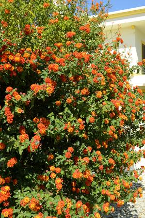 Spanish flag flowers Latin name Lantana camara with Paper Kite butterflies