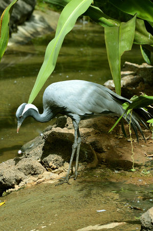 Blue crane Latin name Grus paradisea feeding in a stream