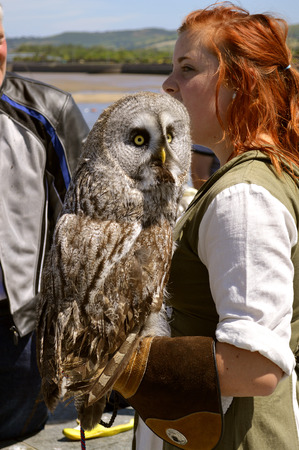 Conwy, Wales, United Kingdom - June 22, 2014 : Falconer with a Great Gray Owl Latin name Strix nebulosa in Wales