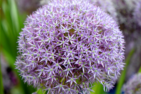 Allium Pinball Wizard an ornamental plant with a large flowerhead