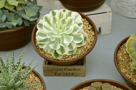 Echeveria Compton Carousel, this plant is a succulent, adapted for arid environments