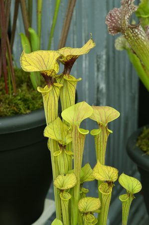 North American pitcher plant Latin name Sarracenia flava are vase-shaped carnivorous plants. Stock Photo