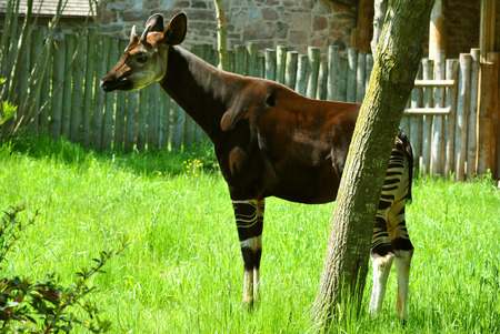Okapia johnstoni also known as the forest giraffe native to the northeast of the Democratic Republic of the Congo in Central Africa