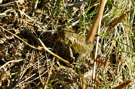 Common Toad Latin name Bufo bufo a common species found across Britain and mainland Europe Imagens
