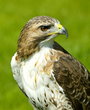 Red-Tailed-Buzzard Latin name Buteo jamaicensis breeds throughout most of North America Banco de Imagens