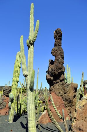 Cactus garden in Guatiza, Lanzarote one of the Canary Islands