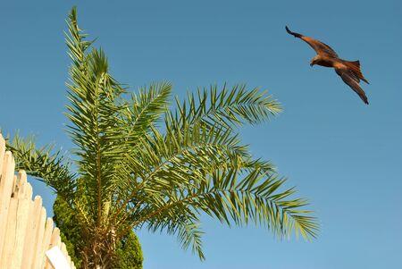 Common buzzard Latin name buteo buteo in flight over a palm tree in Spain