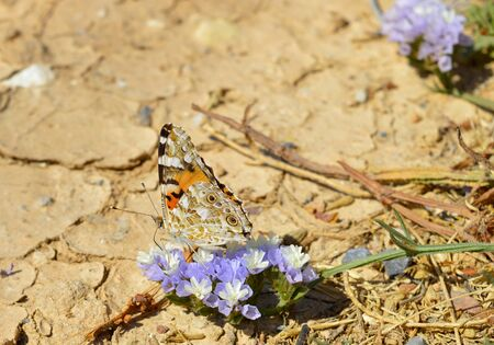 Painted lady butterfly Latin name vanessa cardui