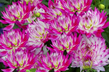 Pink and white dahlia flowers in a garden