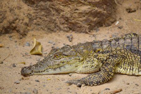 Nile crocodile Latin name Crocodylus niloticus