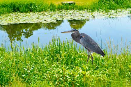 Great blue heron Latin name ardea herodias hunting on the River Avon in Warwick Standard-Bild