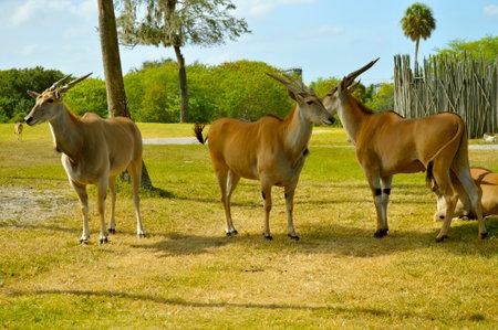 Three antelopes in Busch Gardens Florida